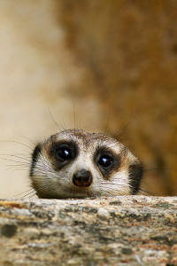 Shy Meerkat, Hyderabad Zoo, India