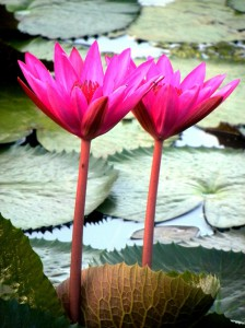 Lotus Pond, Goa, India