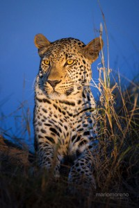 Leopard in The Blue Light, Yala National Park, Sri Lanka